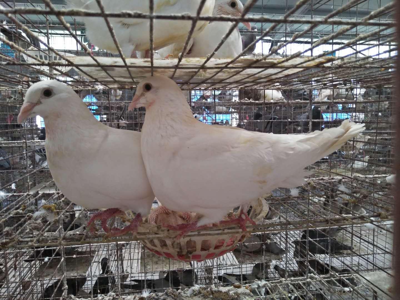 种鸽,种鸽培育,种鸽养殖,种鸽回收