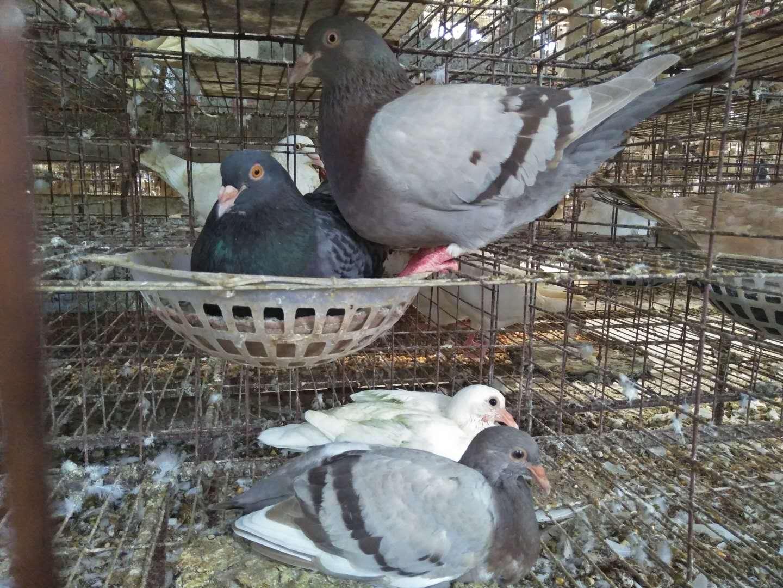 销量好的种鸽哪里有供应 动物种苗
