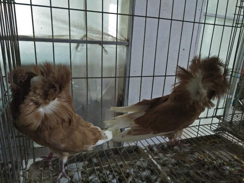 口碑好的种鸽供应商,当属万鸿养殖有限公司,鸽子的形态特征