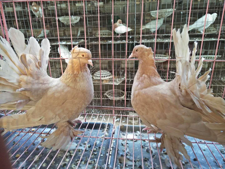 优质的种鸽提供商当属万鸿养殖有限公司|新疆什么地方需要鸽子