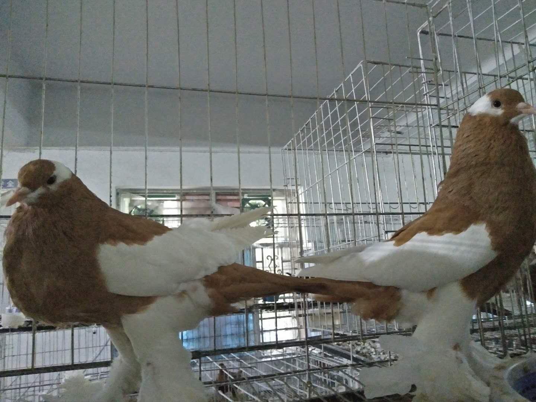 想买好的种鸽就到万鸿养殖有限公司 |黄元宝种鸽