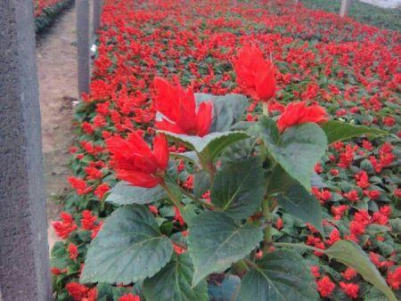 一串红供应-高质量的一串红花推荐