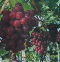 早霞玫瑰葡萄苗-有品质的玫瑰葡萄苗出售