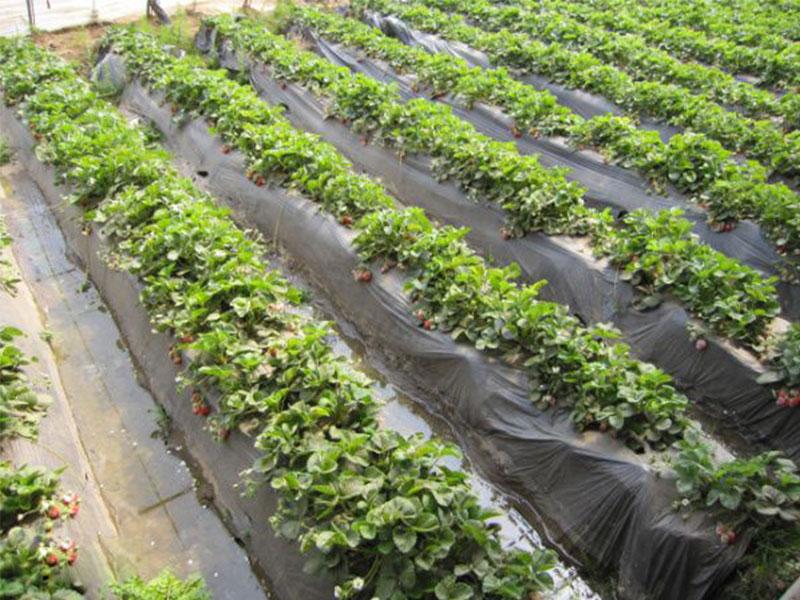 草莓膜批发//草莓膜生产厂家