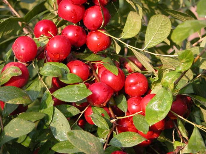 通化中华钙果哪家好-哪里有供应中华钙果苗