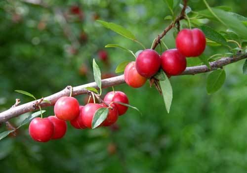 白山钙果苗批发商|成林钙果种苗繁育基地_专业钙果苗供应商