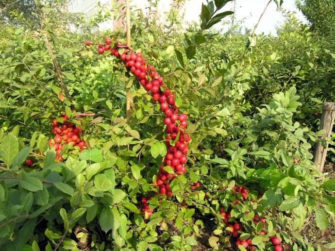 赤峰钙果苗供应——本溪钙果苗批发