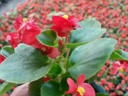 價格實惠的四季海棠濰坊哪里有 四季海棠多少錢