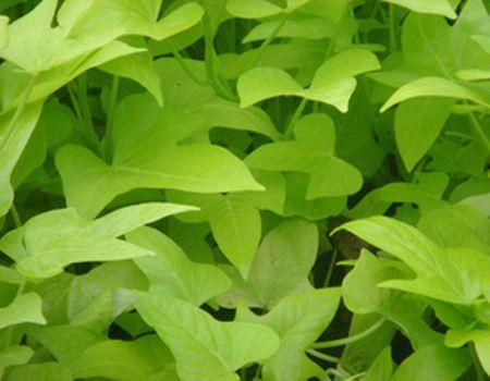 金叶薯基地-优惠的金叶薯就在晟世博卉