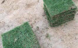 佛山台湾草多少钱一方广州大叶油草种植佛山兰引三号草采购