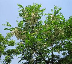 營養杯紅柳-想要優良的紅柳就來海龍苗木