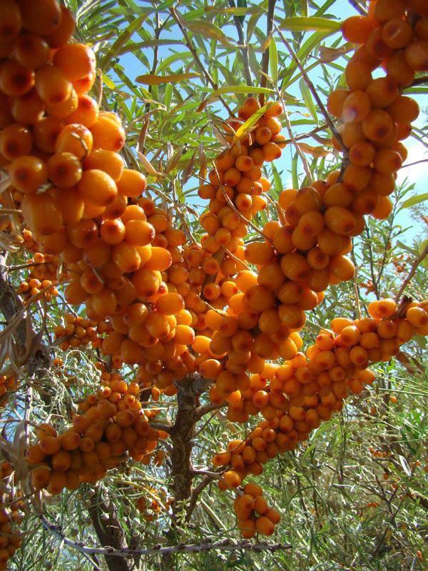 沙棘树苗-沙棘当选海龙苗木