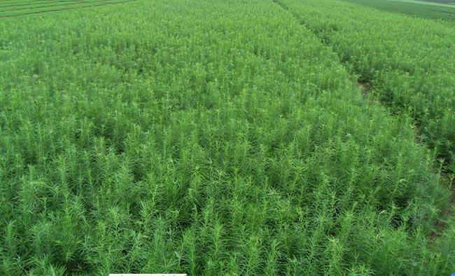 宁夏胡杨树苗-病虫害低的胡杨出售