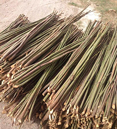 胡杨树苗价格-哪里能买到好的胡杨