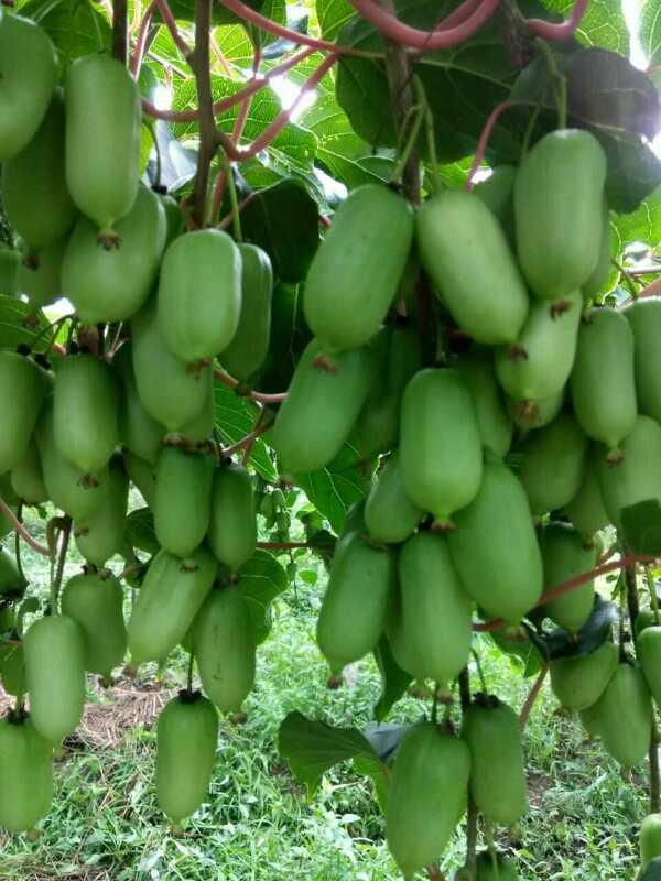 鹤岗软枣猕猴桃苗批发-品种好的软枣猕猴桃苗推荐