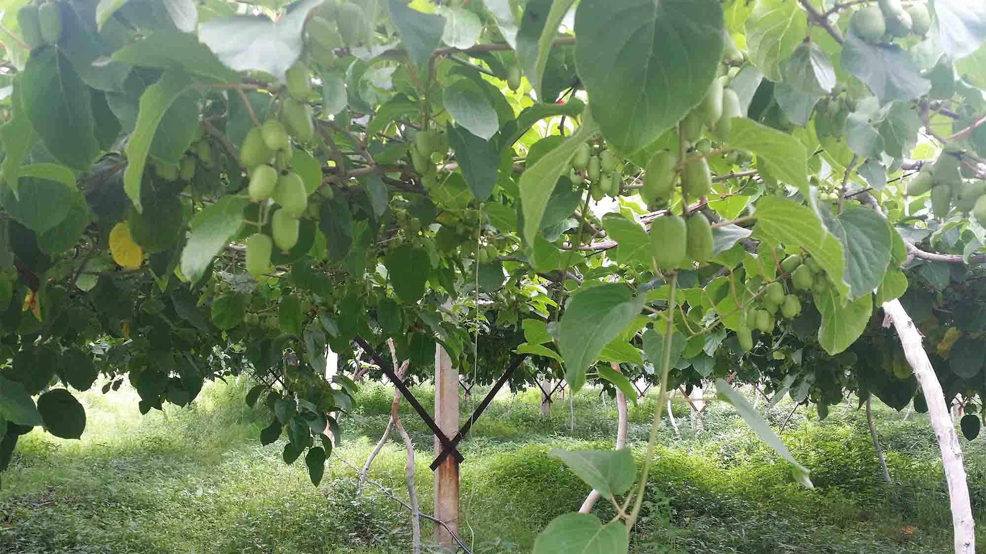 上甘岭软枣猕猴桃苗批发-品种纯的软枣猕猴桃苗出售