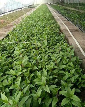江苏软枣子猕猴桃苗|在哪能买到品种好的软枣猕猴桃苗