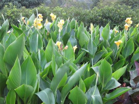 【給花兒一個溫暖的家】德勇-美人蕉批發價格-美人蕉報價