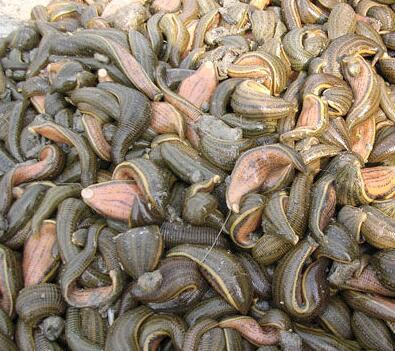 哪里有提供好的水蛭,河北水蛭养殖户