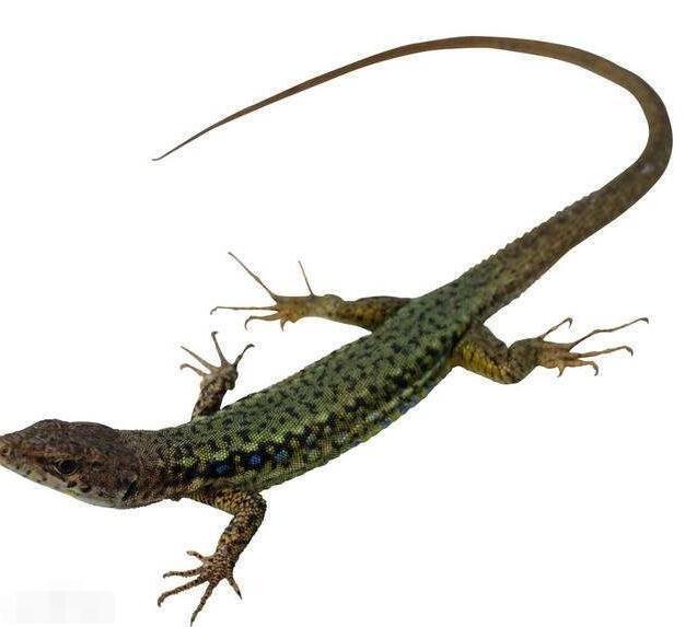 蜥蜴养殖 湖北可信赖的蜥蜴生产基地