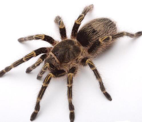 襄阳划算的蜘蛛哪里有供应-北京蜘蛛养殖出售