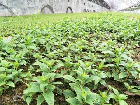 丹东软枣树苗批发,山西软枣苗种植技术