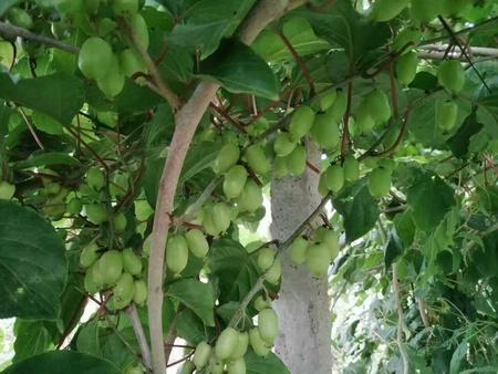 陕西软枣树苗,辽宁软枣树苗价格信息