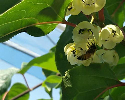 價格劃算的軟棗獼猴桃【供銷】,沈陽軟棗獼猴桃廠家
