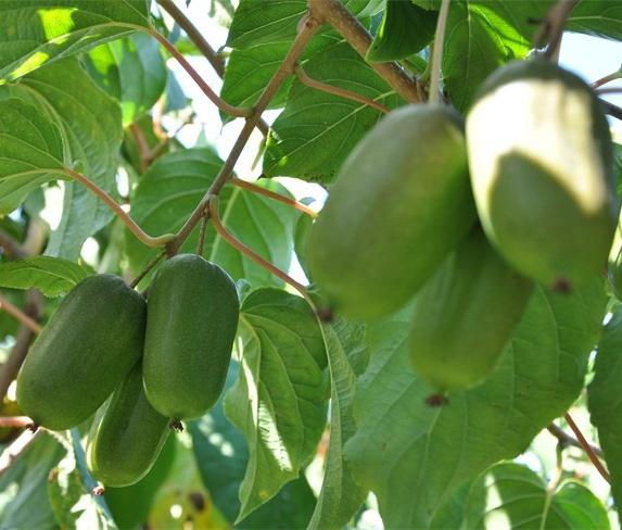 辽宁软枣猕猴桃价格-信誉好的软枣猕猴桃厂家