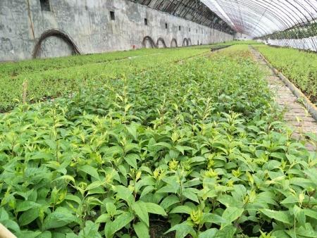 黑龙江奇异莓苗批发-优质软枣猕猴桃苗专业供应