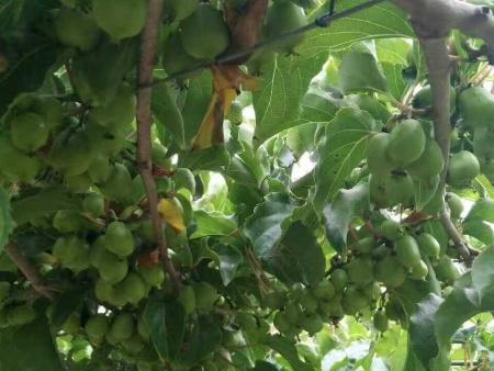 黑龍江圓棗子二年苗出售-供應遼寧質量好的軟棗獼猴桃苗