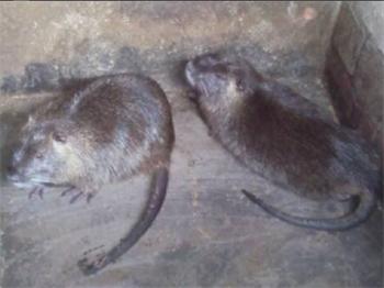 优良的海狸鼠哪里有,海狸鼠多少钱一只