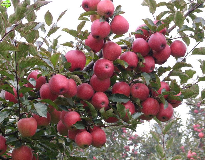 周口中农短枝核桃树苗 销量好的果树苗出售