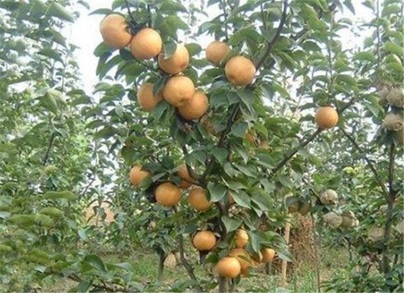 焦作蟠桃树苗-河南果树苗供应基地