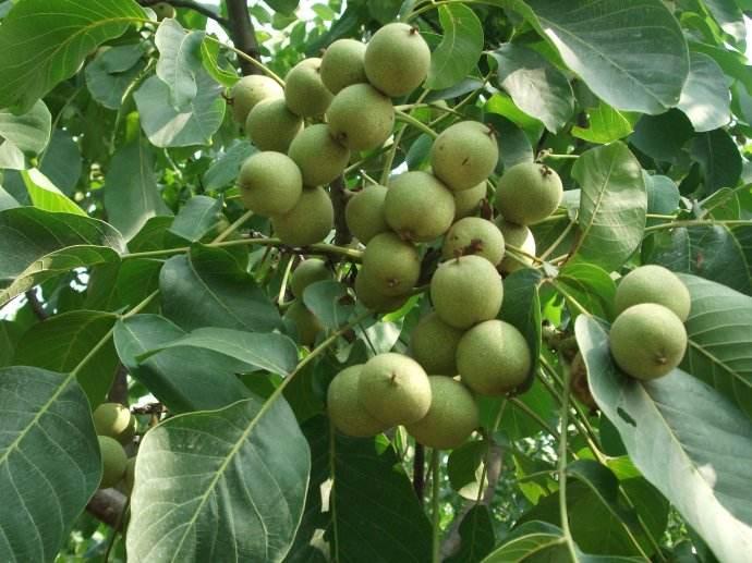 洛陽秋月梨樹苗|碩果苗木種植合作社_果樹苗品種優異