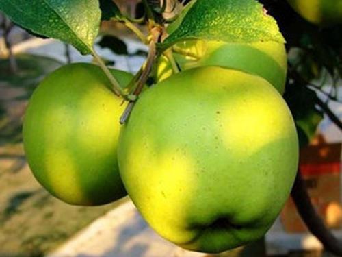 泰安盖富士苹果苗-供应河南高质量的苹果苗