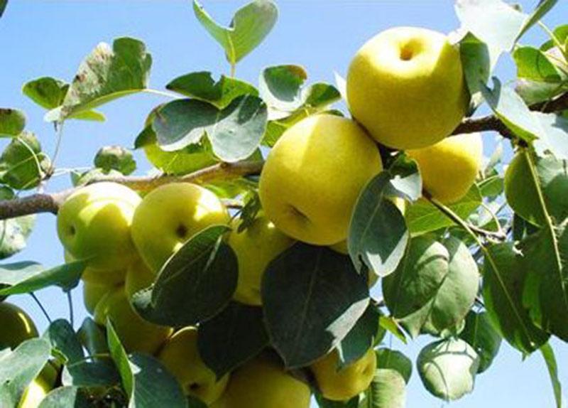 优良苹果苗批发价格-泰安红富士苹果苗