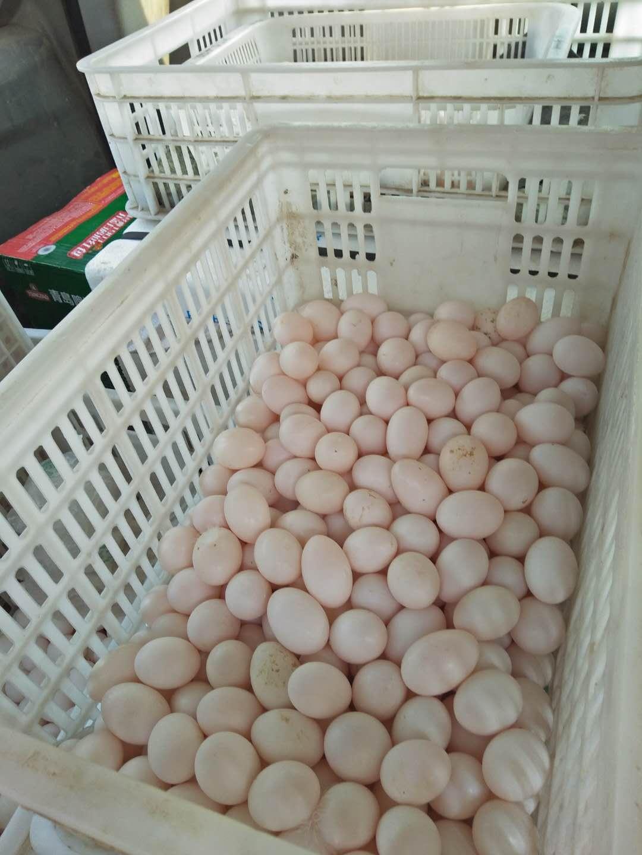 鸽子蛋,鸽子蛋销售,鸽子蛋批发