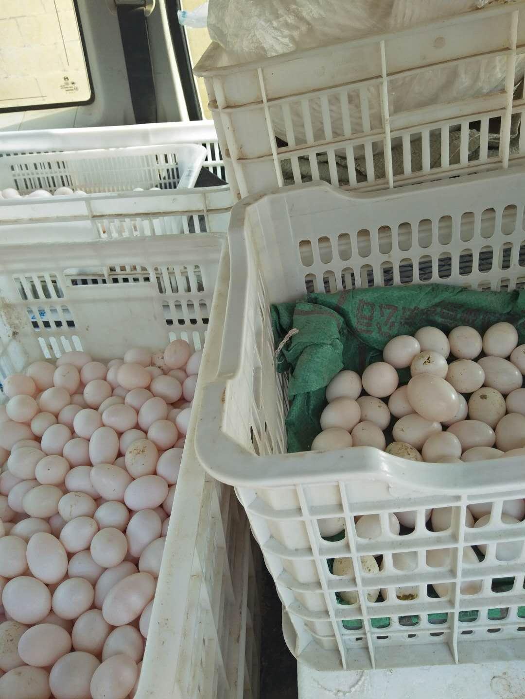 供应菏泽口碑好的鸽子蛋-鸽蛋出售