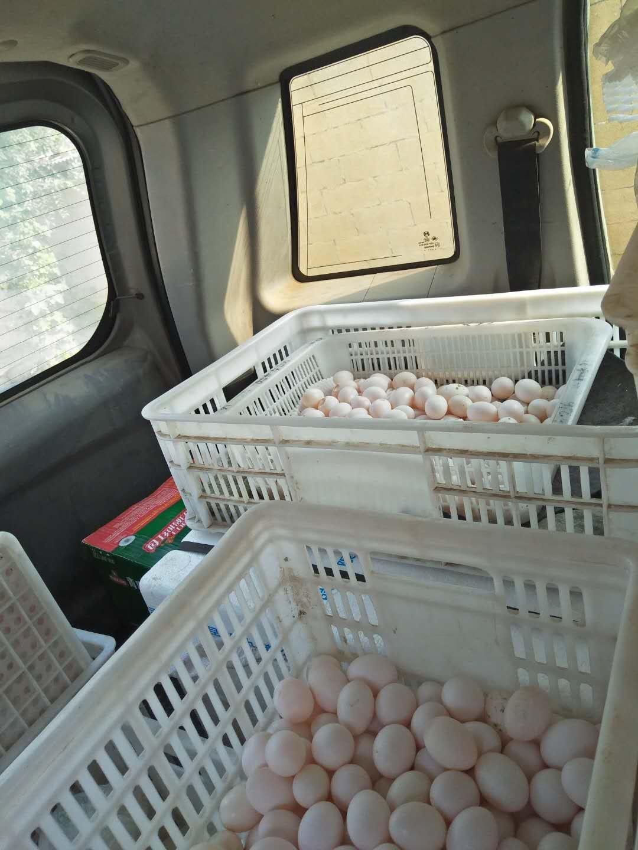 菏泽哪里有供应品质好的鸽子蛋,新鲜鸽子蛋