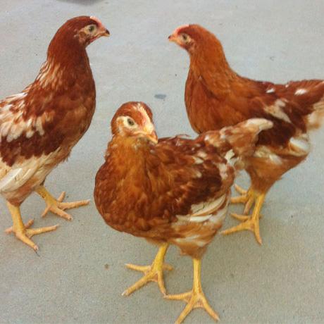 德州高性价青年鸡哪里有供应 青年鸡养殖场
