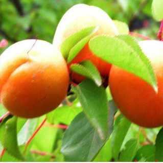 供应品种好的杏树苗|2公分杏树多少钱