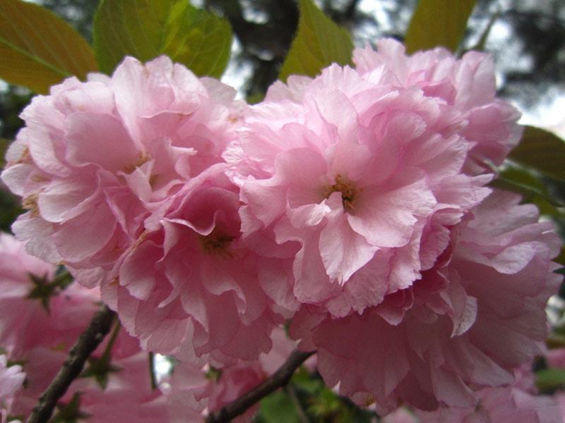 优良的红樱花苗出售 瑰丽樱花哪家好