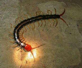 优良的蜈蚣推荐|重庆蜈蚣养殖厂
