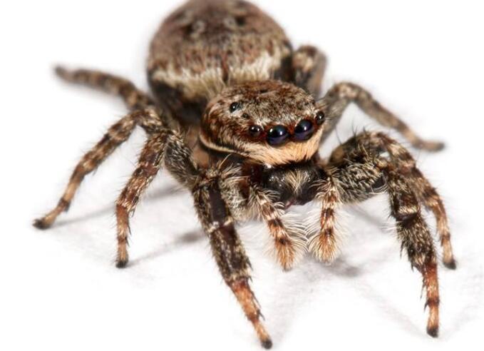 大量供应优良的蜘蛛|浙江蜘蛛养殖