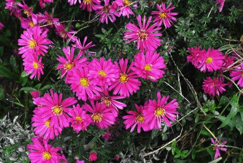 【别问,问就是好】荷兰菊批发价格||荷兰菊种植基地