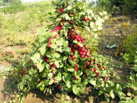 哪里能买到好的农大钙果,长春农大钙果价格