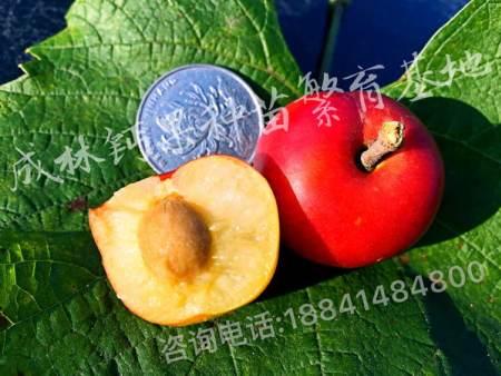 白城農大鈣果供應-想要優惠的農大鈣果就來成林鈣果種苗繁育基地