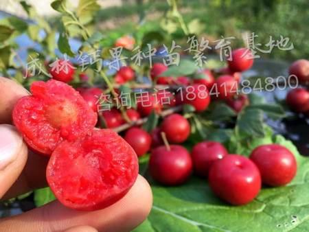 鹤岗农大钙果批发商_哪里能买到成活率高的农大钙果