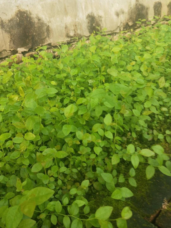 丹东绿宝石蓝莓苗厂家 超值的绿宝石蓝莓苗优选丹东清禾农林公司